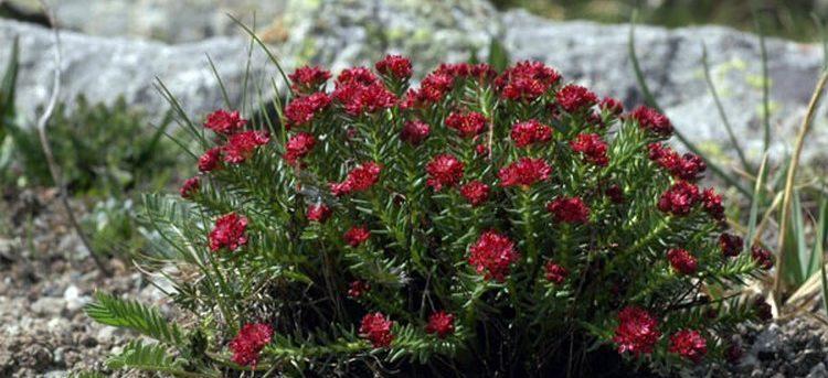 Растение красная щетка