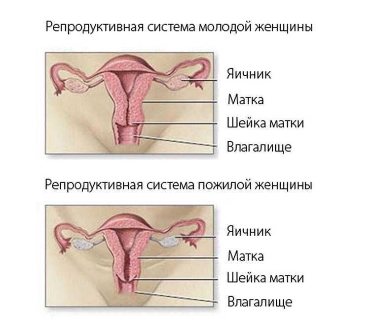 Половая система молодой и пожилой женщины