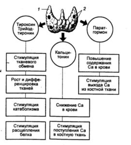 как работает щитовидка